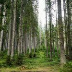 spruce tree forest